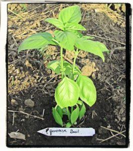 genovese basil seedling