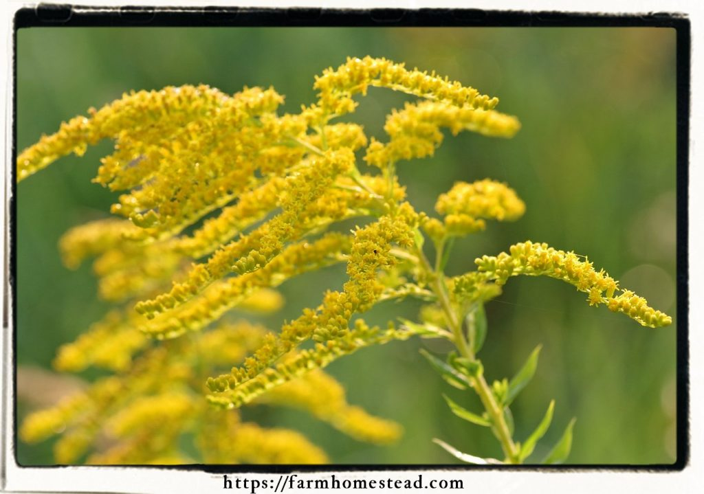 goldenrod blooming