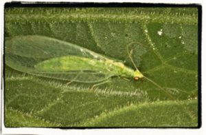 green lacewing -Chrysoperla sp.