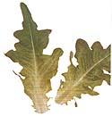 green oak lettuce - salad greens