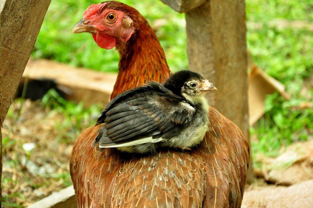 health risks raising chickens