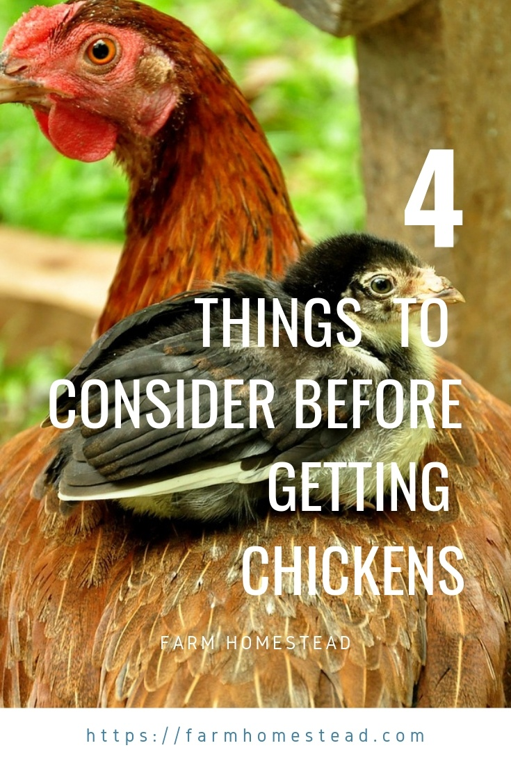 considerations for raising chickens