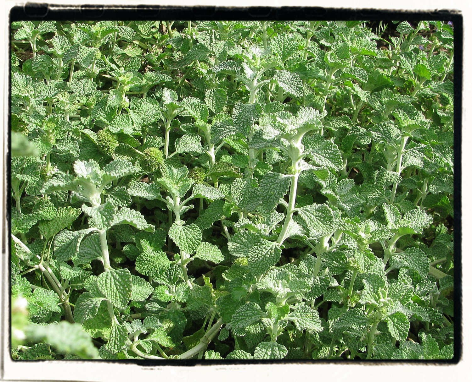 Examine This Report on Horehound Seeds
