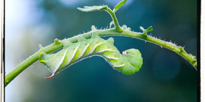 Cutting Tomato Horn Worm Damage