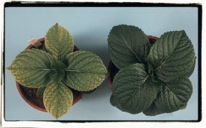 contrast healthy plant to iron deficiency