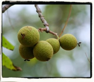 black walnut - juglans nigra fruit