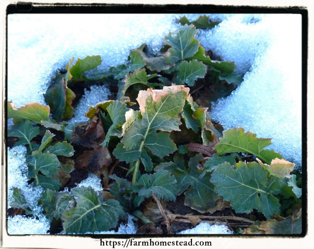 emerging from winter with herbs Kale