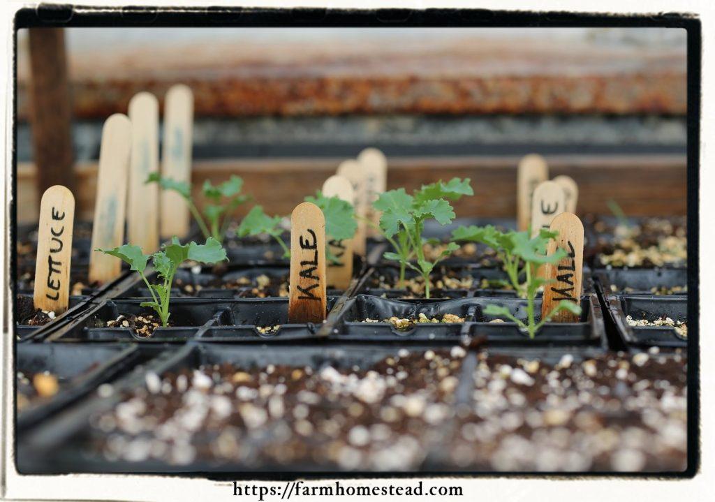 kale greenhouse seedlings