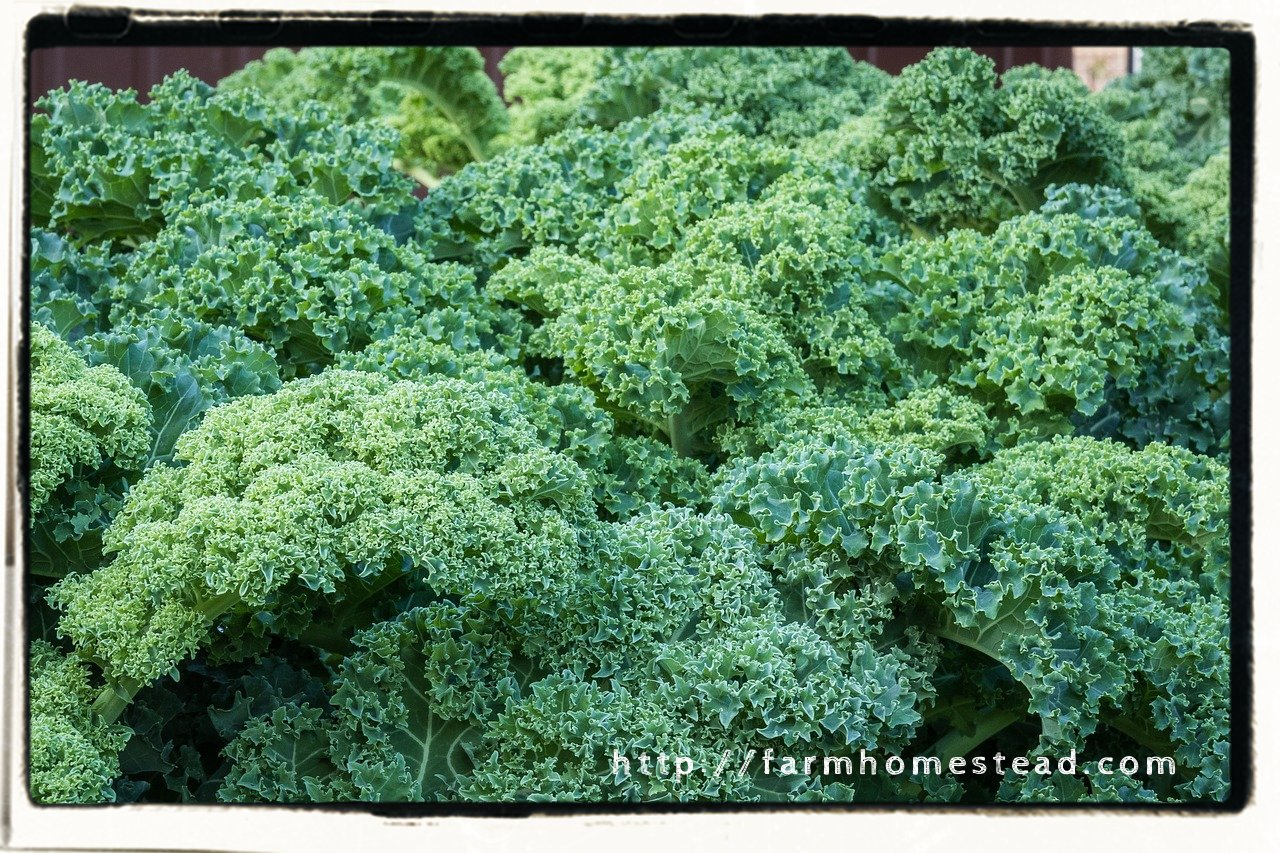 kale leaves-leafy greens