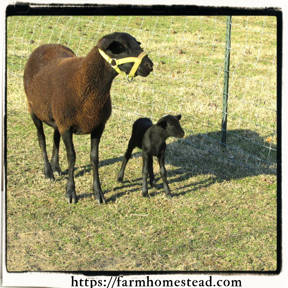 Katahdin Dorper Cross Ewe Lamb