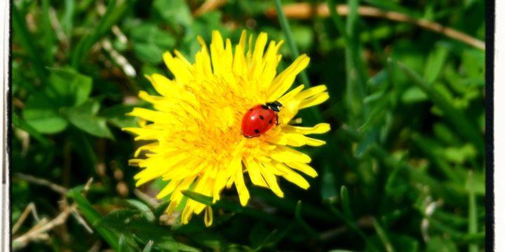 Lady Bugs – Hippodamia convergens