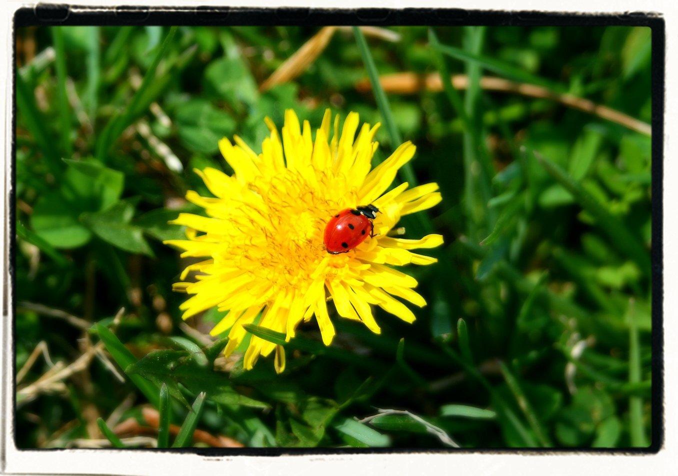 lady bug on a dandelion