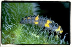 Lady beetle larva, a biological control agent for insect pests