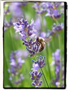 lavender with a bee
