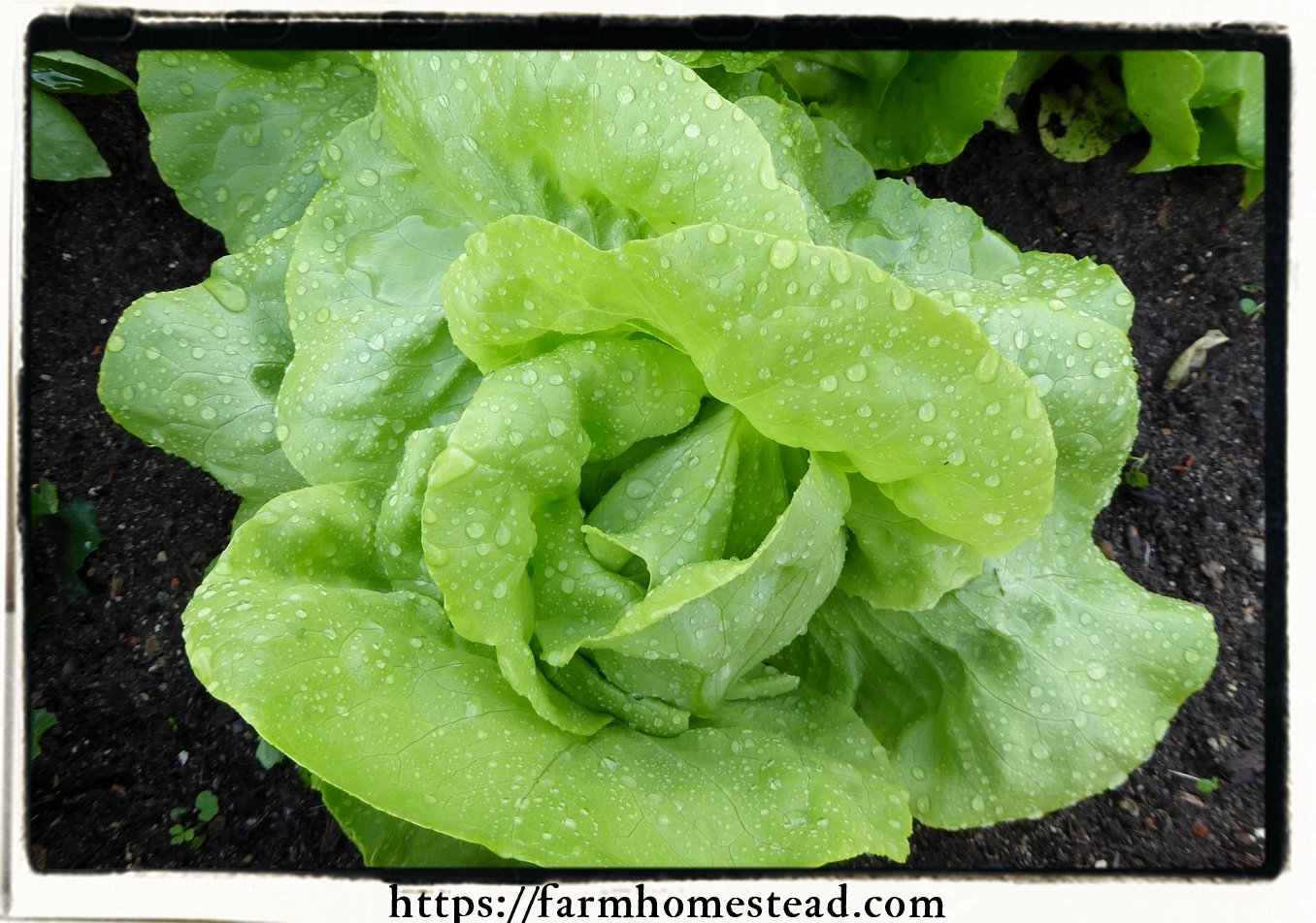butter crunch lettuce