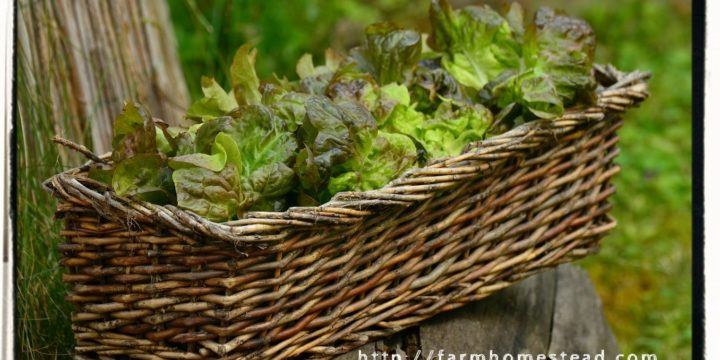 Grow Lettuce in Containers