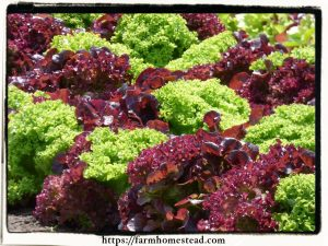 loose leaf lettuce red and green