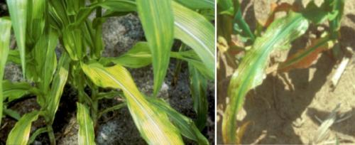 manganese deficiency in corn