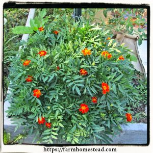 marigolds as a trap crop