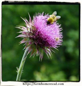 milk thistle bloom and a bee