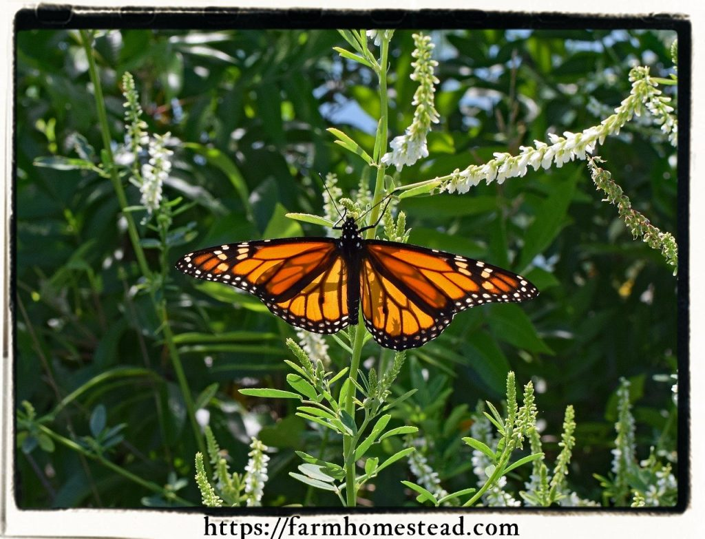 monarch butterfly on white sweetclover