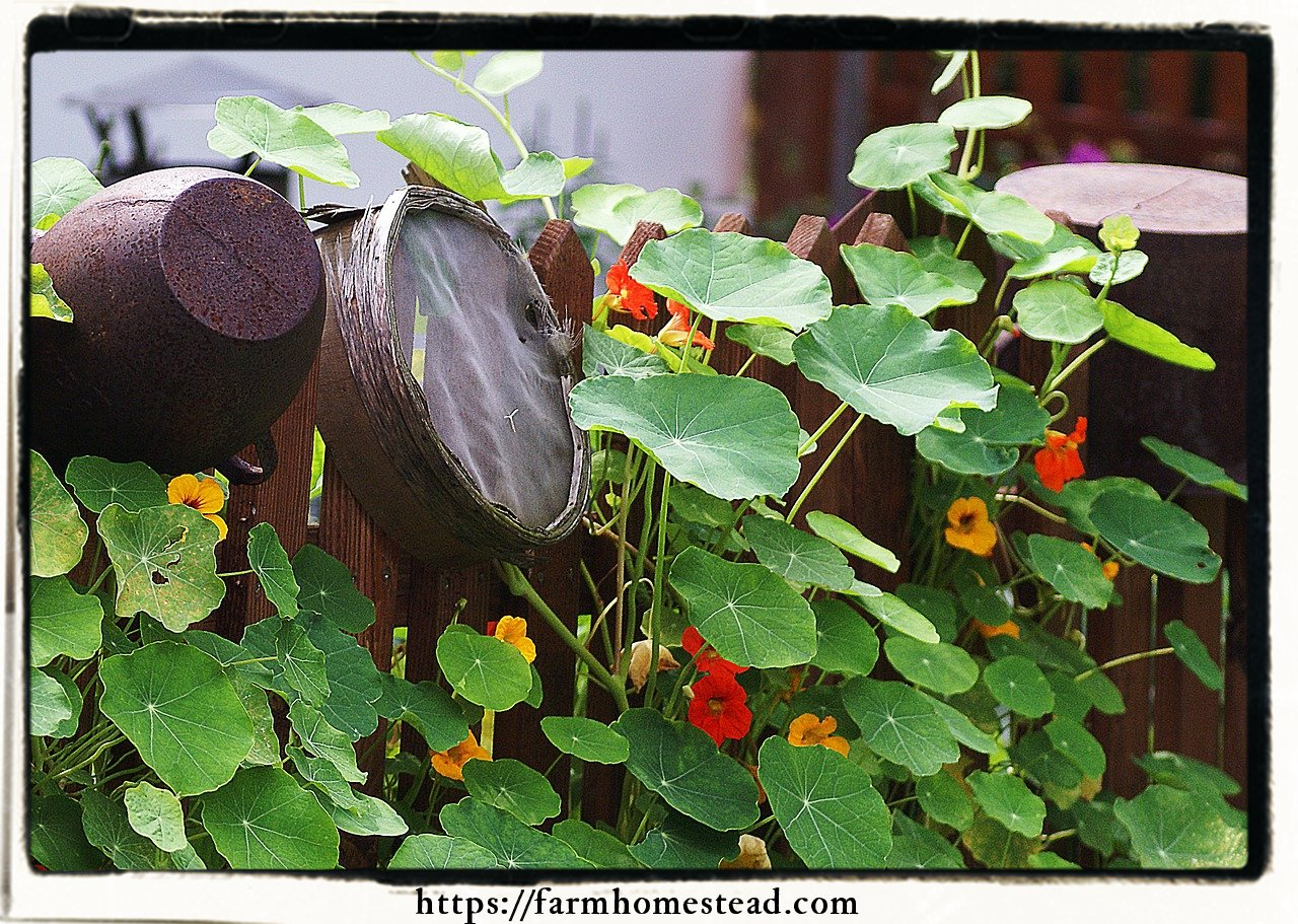 Nasturtiums as a trap crop for aphids