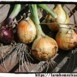 Choosing Onions – Short Day or Long Day?