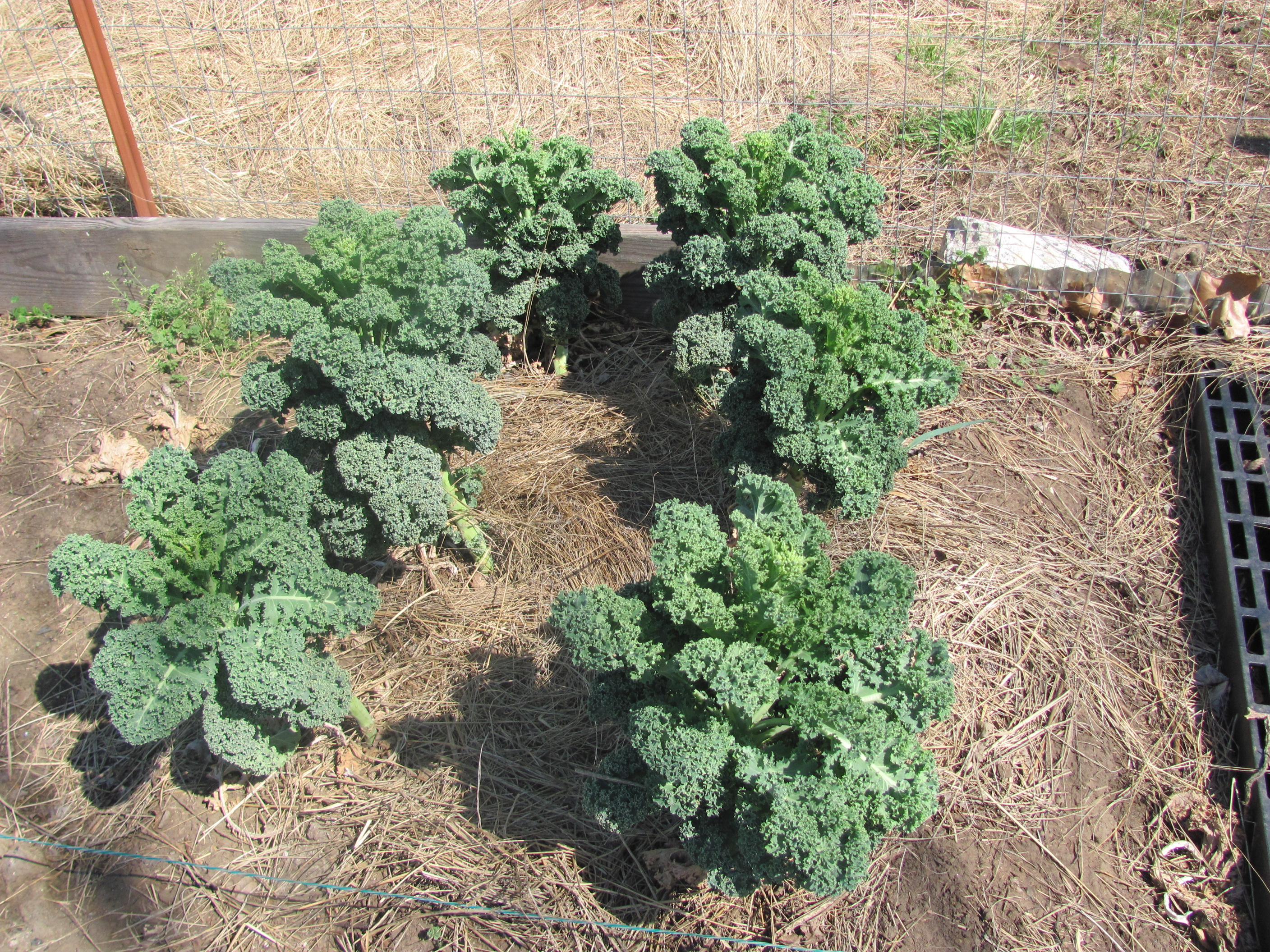 kale is a member of the cruciferous genus