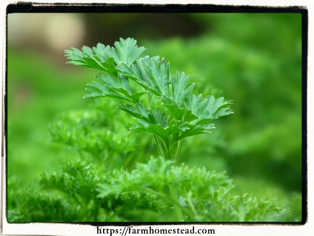 parsley in the indoor herb garden