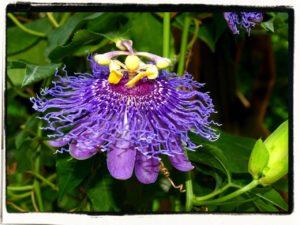 Passiflora incarnata - Passion Flower