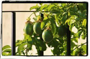 Passiflora incarnata fruit