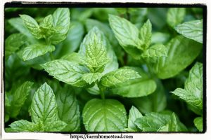 peppermint herb