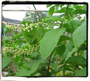 poke - Phytolacca americana