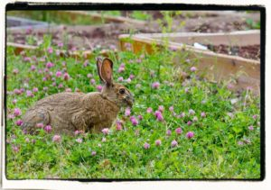 rabbit eating red clover