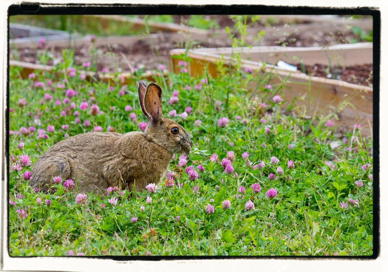 Stop rabbits from eating your garden farm homestead for How to deter rabbits from garden