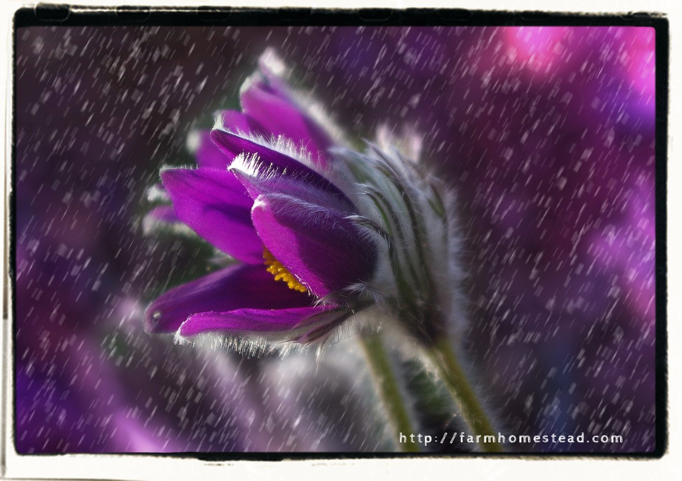 spring rain on purple flower