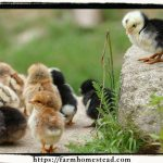 Planning to Raise Chickens?  Four Things to Consider