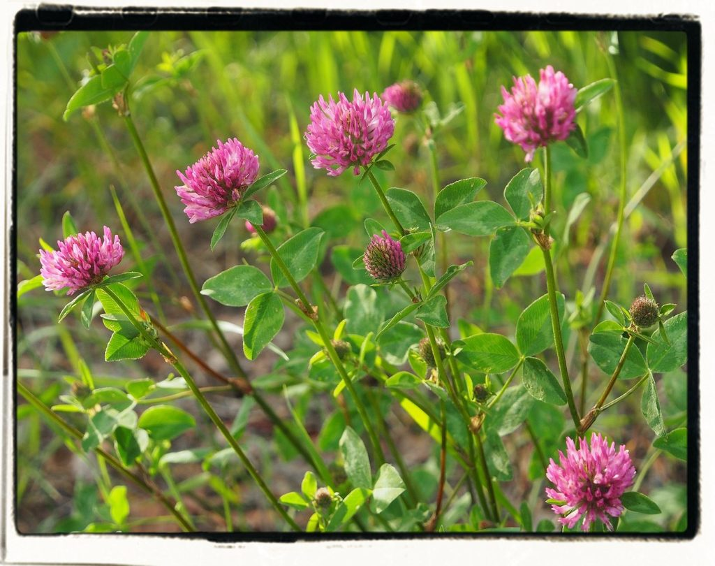 bunches of red clover