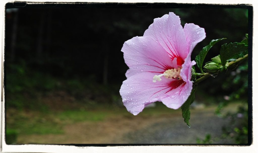 hibiscus or rose of sharon