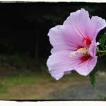 Hibiscus – Rose of Sharon