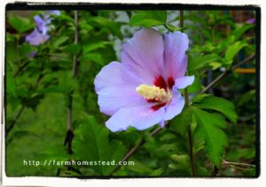 hibiscus - rose of sharon