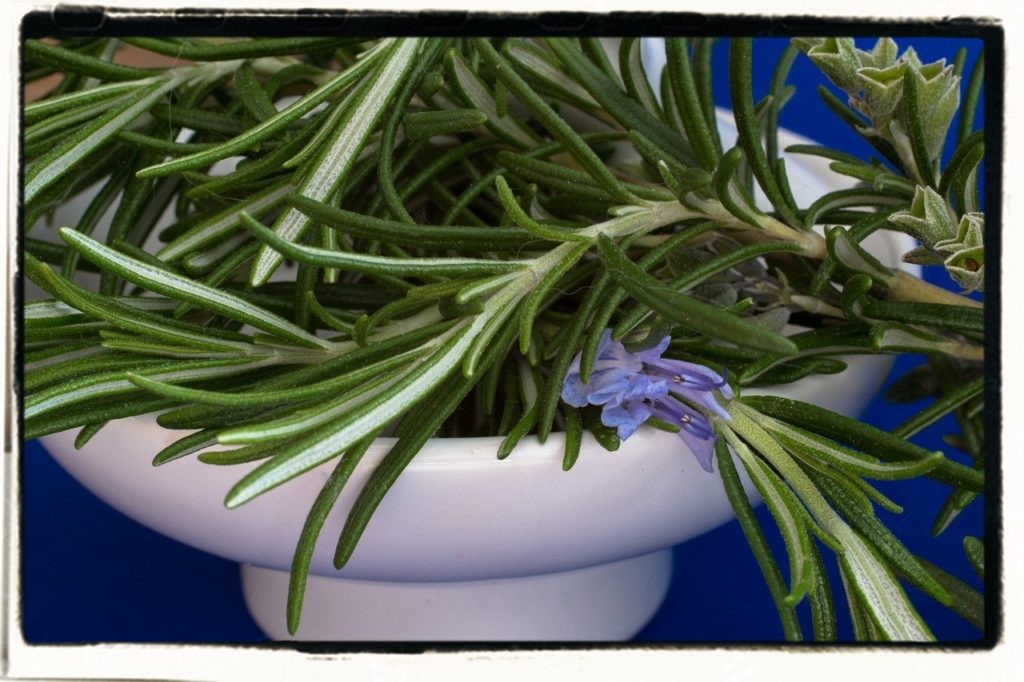 rosemary-a cooking herb for indoor herb garden