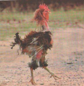 chicken rough