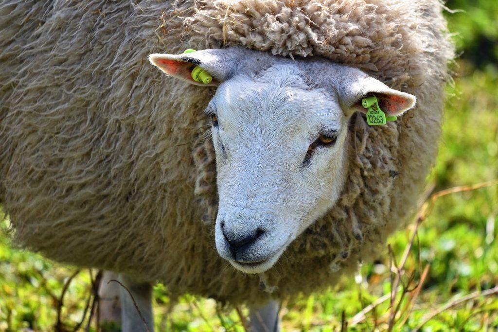 sheep ear tagged