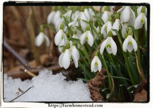 snowdrops - the harbingers of spring