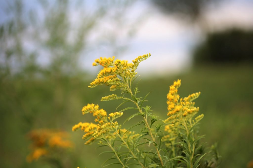 solidago in bloom - goldenrod