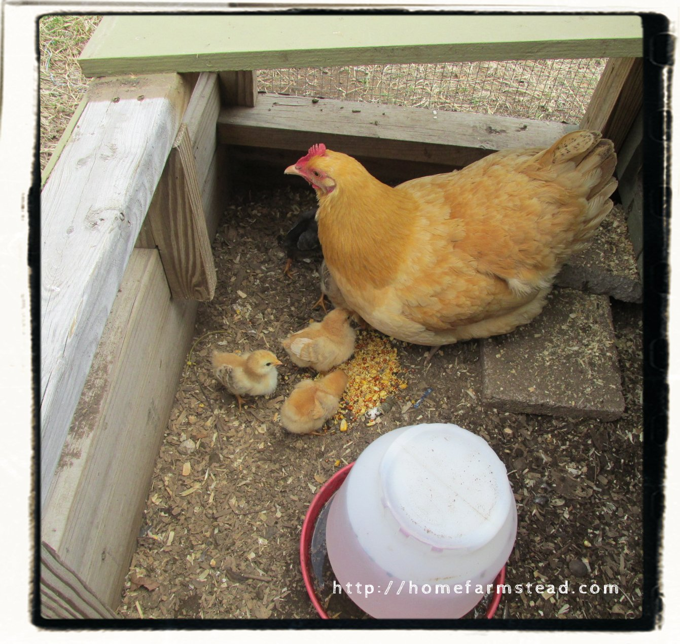 raising your own chicks