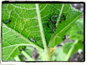 squash bug nymphs in an organic garden