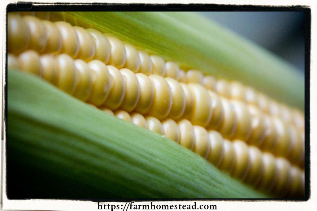 organic gardening chemical free non GMO corn