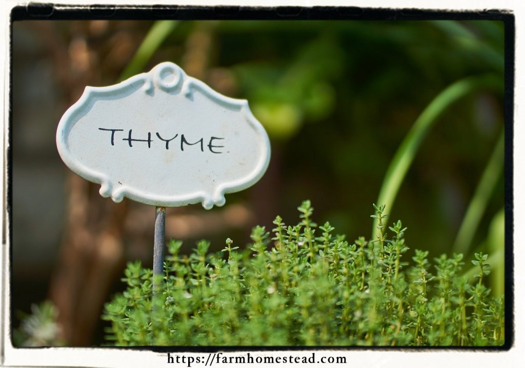 thyme growing in the garden